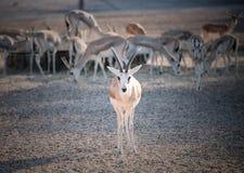 Sand Gazelle stock photos