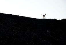 Sand Gazelle. This image was taken in Sir Bani Yas Island, Abu Dhabi Royalty Free Stock Images