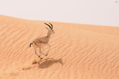 A sand gazelle in a natural reserve in the Dubai desert - UAE Royalty Free Stock Photos