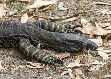Sand goanna Stock Photo