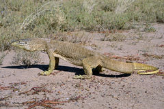 Sand goanna. In  outback Queensland,Australia Stock Image