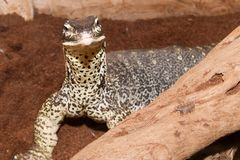 Sand Goanna Portrait Stock Photos