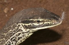 Sand Goanna portrait Stock Images