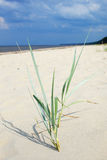Sand grass. Royalty Free Stock Photos