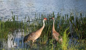 Free Sand Hill Crane Stock Images - 1098084