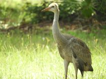 Sand Hill Crane Baby Bird in the forest royalty free stock photos