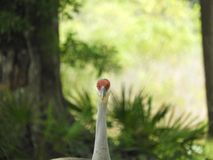 Sand Hill Crane Bird in the forest of Central Florida stock photo