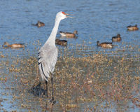 Sand Hill Crane Calling. Sandhill Crane vocalizing while wading in the water Stock Images
