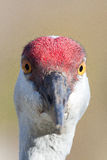 Sand Hill Crane Close Up. Looking directly into the camera, the texture of the crown feathers can be seen in detail Royalty Free Stock Images