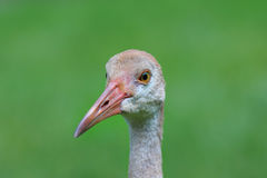 Sand hill crane Stock Photography