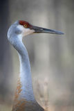 Sand hill crane Stock Photo