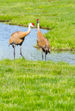 Sand-hill crane couple Stock Photo