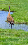 Sand-hill crane Stock Images