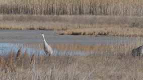 Sand-hill crane. In the dry grass of the wetland in Northern Utah stock video