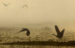 Sand Hill Crane in flight. Short early morning on Pegram Lake Stock Photography