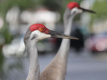 Sand Hill Crane Florida. Profile shot of a Sandhill Crane with another in the background taken in a parking lot just walking around in Orange City Florida Stock Images