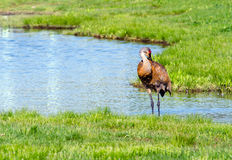 Sand-hill crane in pond Royalty Free Stock Image