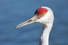 Sand Hill Crane Profile. This closeup of a sandhill crane shows that the bird does not have a perfectly aligned beak. But it also shows the beautiful red and Royalty Free Stock Photos