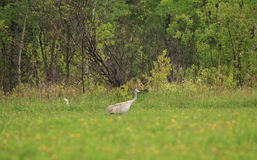 Sand Hill Crane Royalty Free Stock Photo
