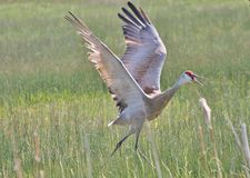 Sand Hill Crane. Walking in tall grass Stock Images