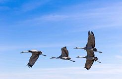 Sand hill Cranes. Fly over head as they migrate south Stock Photo