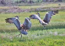 Sand Hill Cranes  Landing. Two Sand Hill Cranes landing in a grassy field Royalty Free Stock Images