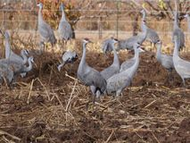 Sand hill Cranes Stock Images