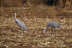 Sand hill Cranes Royalty Free Stock Photos