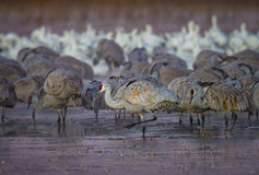 Sand hill cranes step carefully through icy ponds in New Mexico Royalty Free Stock Photos