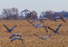 Sand Hill Cranes Taking Off Royalty Free Stock Image