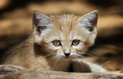 Sand-Katze Lizenzfreies Stockbild