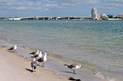 Sand Key. Guil-billed Terns on Sand Key beach in Clearwater, Florida USA Royalty Free Stock Images