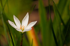 Sand lily Leucocrinum montanum) with green leaves Royalty Free Stock Images
