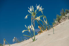 Sand Lily on a mediterranean dune Royalty Free Stock Photo