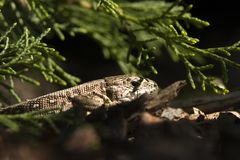 Sand lizard 1 Stock Photo