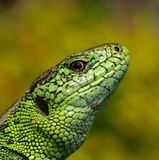 Sand Lizard. Green and yellow the sun Royalty Free Stock Photos