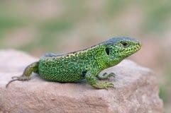 Sand lizard Stock Photography