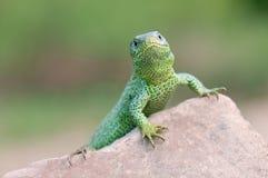 Sand lizard Stock Image