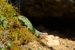 Sand lizard Royalty Free Stock Image