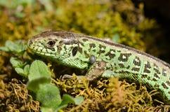 Free Sand Lizard Stock Photos - 24565383
