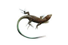 Sand Lizard Royalty Free Stock Photos