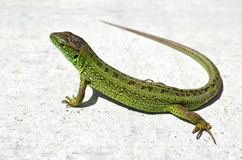 Sand Lizard Royalty Free Stock Images