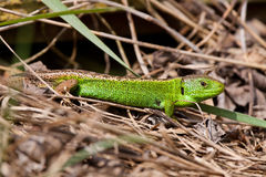 Sand Lizard. Sunning between dry grass royalty free stock photo