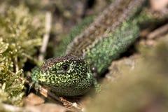 Sand lizard. On the Veluwe, Netherlands Royalty Free Stock Photography