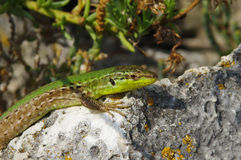 Free Sand Lizard Royalty Free Stock Images - 44294429