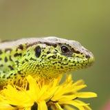 Sand lizard basking on dandelion flower Stock Photo