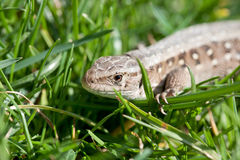Sand lizard in close up -Lacerta Agilis Royalty Free Stock Photos