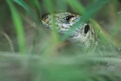 Sand lizard detail. The detail of sand lizard hidden in the grass royalty free stock images
