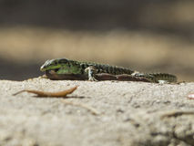 Sand Lizard eats earthworms Royalty Free Stock Photo