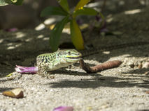 Sand Lizard eats earthworms Stock Image